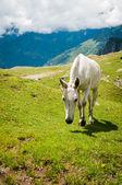 White horse on mountain pasture — Stock Photo