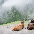 Two cows admire the scenery of foggy mountains — Stock Photo