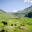Stock Photo: Black cows on mountain pasture