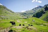 Black cows on mountain pasture — Stock Photo