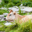 Cow on mountains pasture - 图库照片