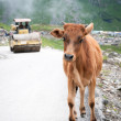 Calf runs away from roller compactor — Stock Photo
