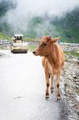 Bezerro e rolo compactador na estrada da montanha — Fotografia Stock