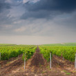 Stock Photo: Beautiful rows of grapes before harvesting
