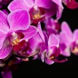 Orchid on black background (shallow DOF) - Stock Photo