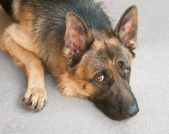Closeup of a German shepherd dog — Photo
