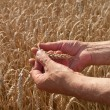 Ears of wheat — Stock Photo