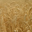 Ears of wheat — Lizenzfreies Foto