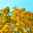 Stock Photo: Vivid autumnal leafage over blue sky