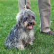 Funny active mini schnauzer in nature — Stock Photo