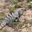 Iguana in the wild nature. Mexico — Stock Photo #7301230