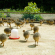 Stock Photo: Baby ostriches on farm