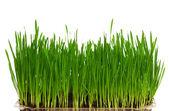 小麦草 — 图库照片