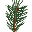 fir branch — Stock Photo #7535498