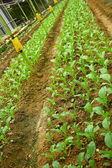 Vegetable Farming — Stock Photo