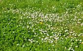 Lawn daisy — Stock Photo