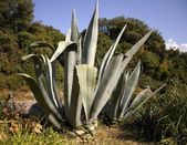 Agave — Stock Photo