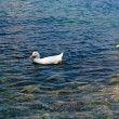 Pekin ducks in the sea — Stock Photo