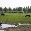 Buffaloes in a muddy water — Stock Photo