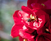 Bee on a red flower — Stock Photo
