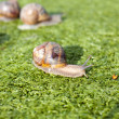 Snails — Stock Photo #7740205