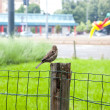 Sparrow on chain-link fence — Stock Photo