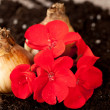 Flower bulbs — Stock Photo