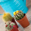 Little Cactus plant — Stock Photo #6866284