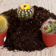 Stock Photo: Little cactus plant
