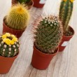 Little Cactus plant — Stock Photo