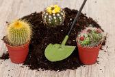 Piccola pianta del cactus — Foto Stock
