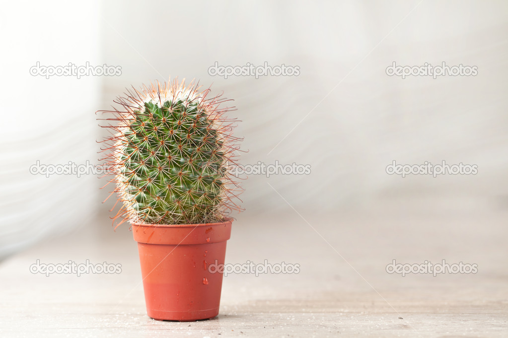 Little exotic spiked cactus plant for interior decoration — Stock Photo #6865099