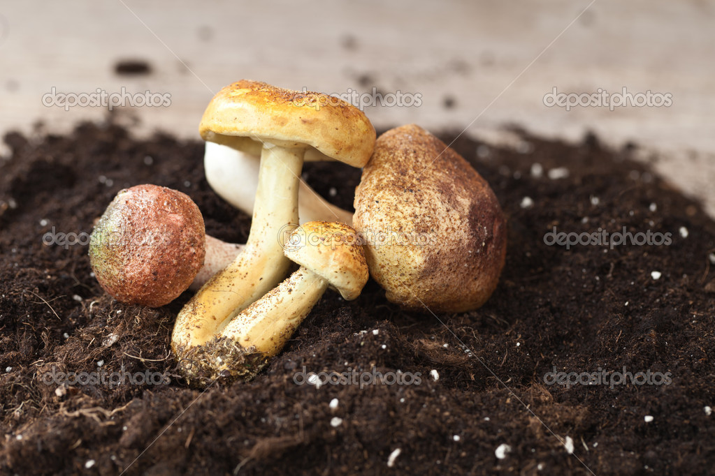 Bunch of autumn mushroom  on soil — Stock Photo #6866233