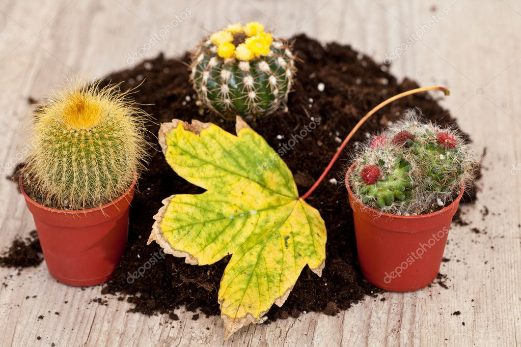 Planting a little exotic cactus plant in a fresh soil — Stock Photo #6866958