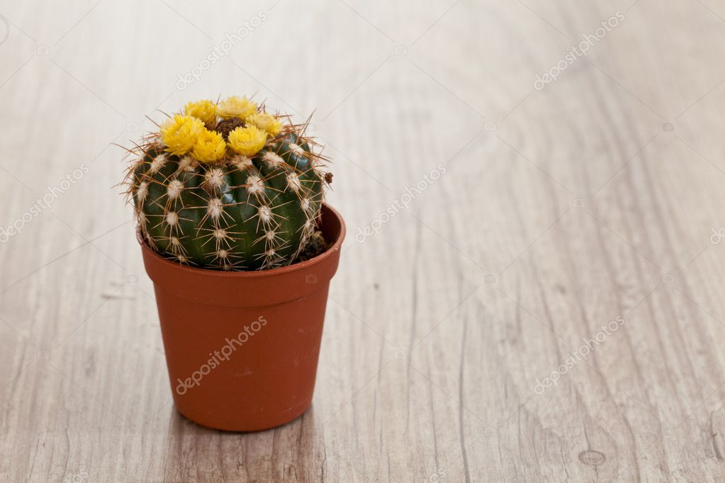 Little exotic spiked cactus plant for interior decoration — Stock Photo #6867108