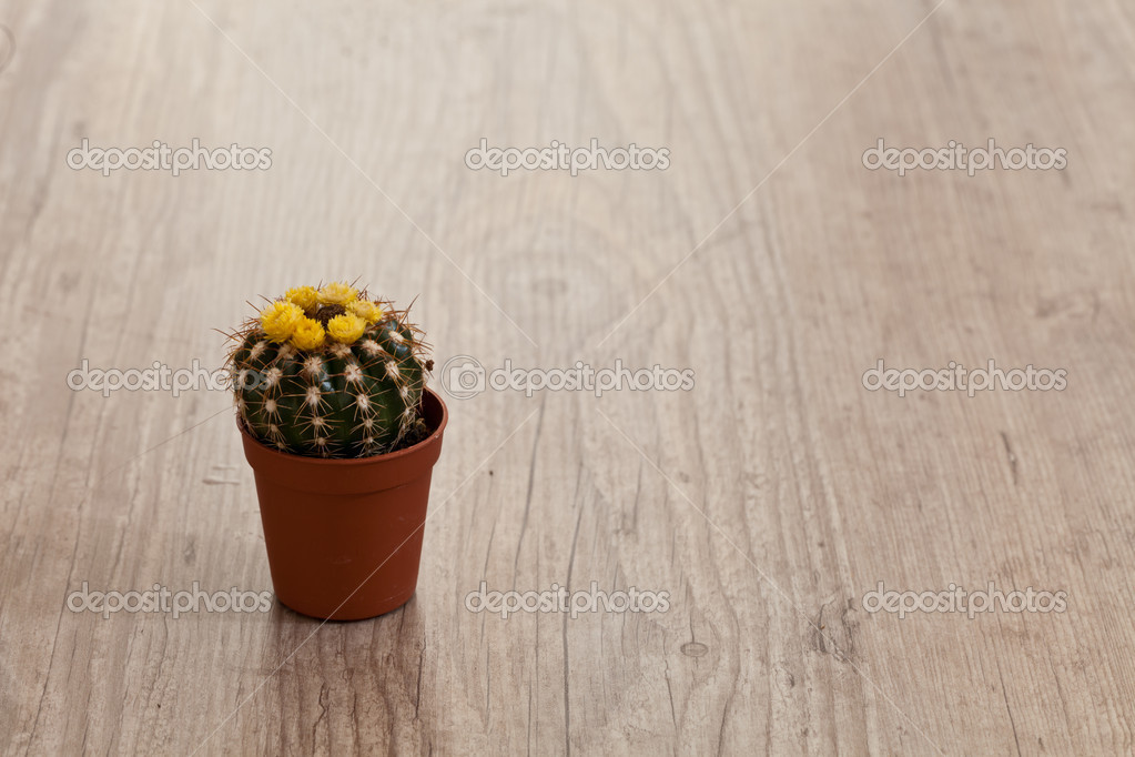 Little exotic spiked cactus plant for interior decoration — Stock Photo #6867112