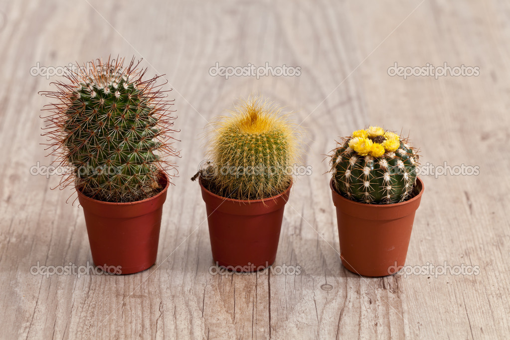 Little exotic spiked cactus plant for interior decoration — Stock Photo #6867150