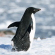 Black and white penguin — Stock Photo #6818478
