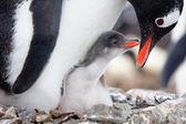 Gniazdują pingwiny — Zdjęcie stockowe