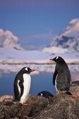 Two penguins talking — Stock Photo
