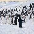 Large group of penguins — 图库照片