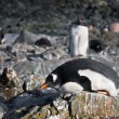 Penguins on the stone coast — Stock Photo