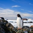 Penguins nest — Stock Photo #7229262