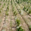 Vineyards in Crimea — Stock Photo