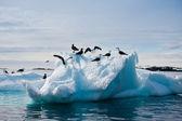 Racky v antarktidě — Stock fotografie