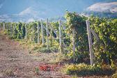Vineyards in Crimea — Stock Photo
