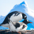 Penguins in Antarctica — Stock fotografie #7403499