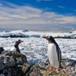 Penguins nest — Stock Photo #7403501