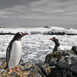 Penguins nest — Stock Photo #7403506