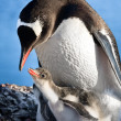 Stock Photo: Penguins nest